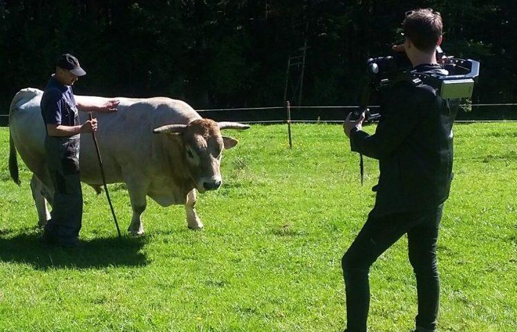 Rind auf der Weide wird gefilmt
