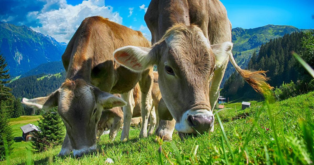 Bio-Kühe auf der Weide